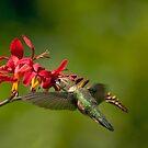 Feeding Hummer by Randall Ingalls