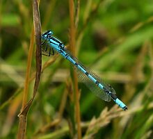 Blue Damselfly. by Livvy Young