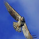Young Bald Eagle by Randall Ingalls