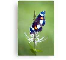 Wings - common eggfly butterfly Canvas Print