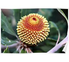 Banksia epica Poster