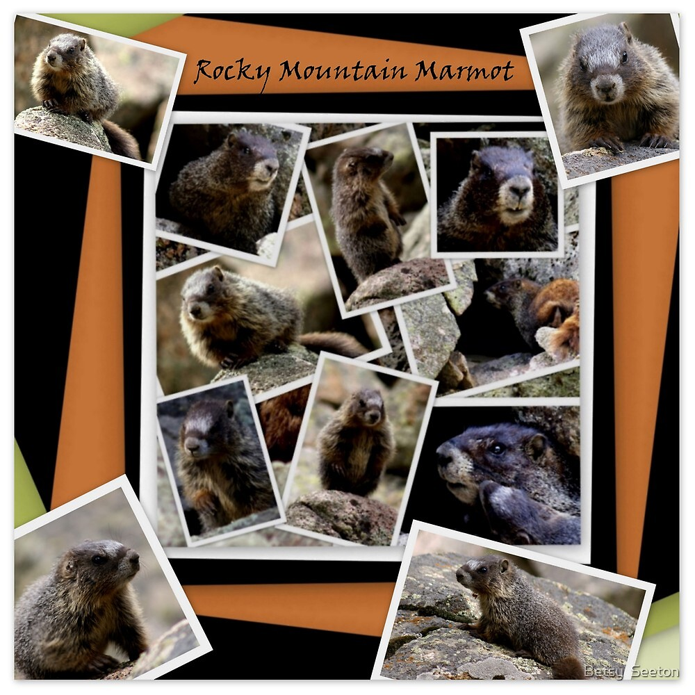 ROCKY MOUNTAIN MARMOT by Betsy  Seeton