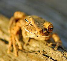 Beni Tree Frog - The Beni, Bolivia by Jason Weigner