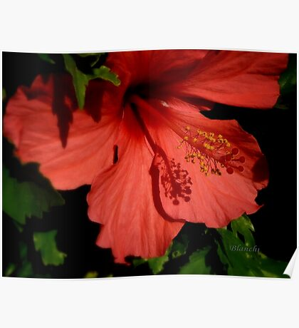 Hibiscus rojo Poster