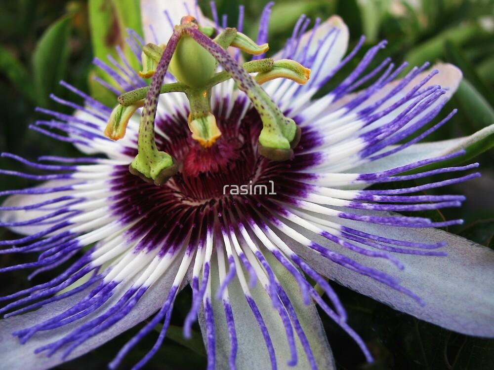 Passiflora by rasim1