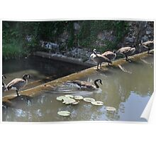 Geese by the Pond Poster