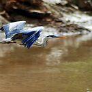 White-necked Heron (Ardea cocoi) by Jason Weigner