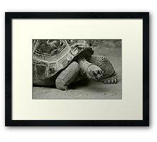 Giant Tortoise  Framed Print