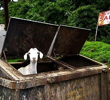 goat by cvdp