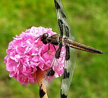 Twelve-spotted Skimmer on a Sea Thrift Armada Rose by Chuck Gardner