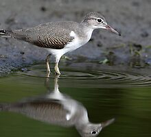 The Green Pool / Juvenile Spotted Sandpiper by Gary Fairhead