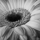 Gerber Daisy by David Kocherhans