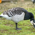 Barnacle Goose by VoluntaryRanger
