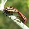Order – Hemiptera