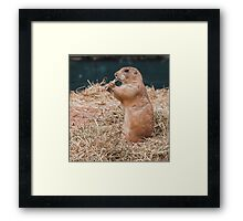 Black tailed Prairie dogs (Cynomys)  Framed Print