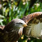 Black Kite (Milvus migrans) i by Elaine123