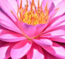 Pink Waterlily Sticker