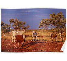 Where the Wild Cattle Roam-Australia Poster