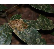 Green Eyed Tree Frog (Litoria genimaculata) Photographic Print