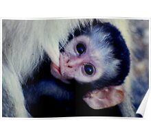 Baby Vervet Poster