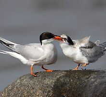 One Good Tern Deserves Another / Common Tern Adult Feeding Young One by Gary Fairhead