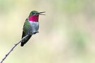 Broad-tailed Hummingbird in Waterton Canyon by Eivor Kuchta