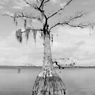 Tree in Lake Louisa by Debbie Robbins