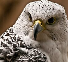 The GyrFalcon by TeresaB