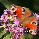 European Peacock Butterfly by Robert Abraham