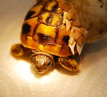 Hatching baby tortoise by Michael Brewer