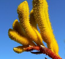 Kangaroo Paw - Big Yellow by Graeme  Hyde
