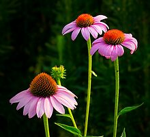 Three Purple Coneflowers by LeeAnne Emrick