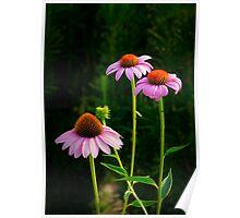 Three Purple Coneflowers Poster