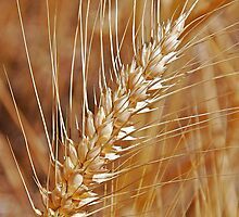 Wheat by Jennifer Hulbert-Hortman