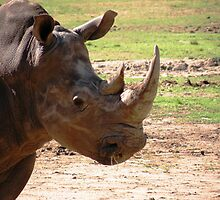White Rhinoceros : Ceratotherium simum by Trish Meyer