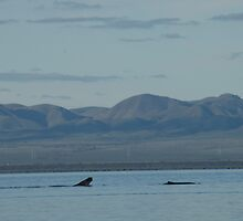 Whales at Port Augusta, South Australia. by elphonline