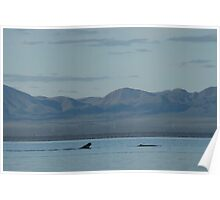 Whales at Port Augusta, South Australia. Poster
