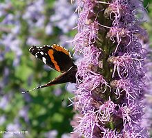 Butterfly Visits Lavender Flower by Barberelli