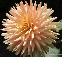 Peach Dahlia by Barberelli