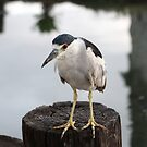 Black-crowned night heron by Kimberly Palmer