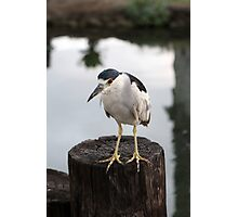 Black-crowned night heron Photographic Print
