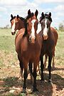 Inquisitive Clydesdale cross horses by Carmel Williams