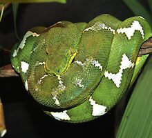 Emerald Green Tree Boa by Dave Cauchi