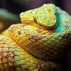 Eyelash Viper by Dave Cauchi