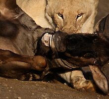Lion and Wildebeest Tussle by Kelly Gate