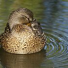 Mallard duck ( female) by Aler