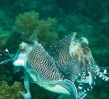 Duelling Cuttlefish by johngill