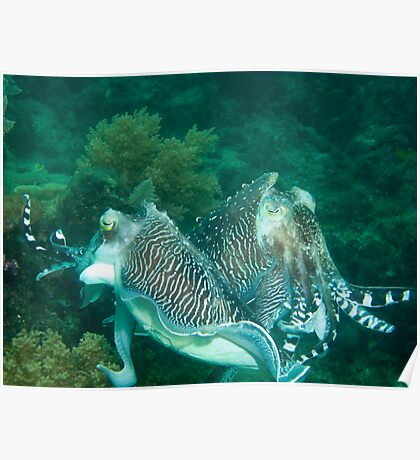 Duelling Cuttlefish Poster