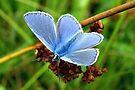 Common Blue by Jo Nijenhuis