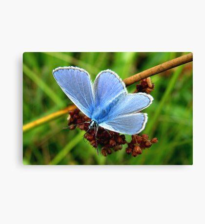Common Blue Canvas Print